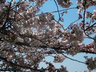 練馬区のお花見スポットはここ!-練馬のおすすめニュース編集室